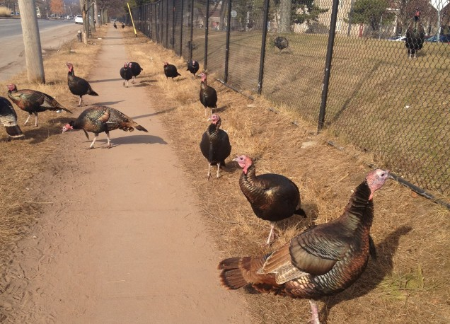 Staten Island turkeys