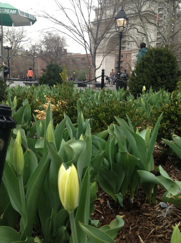 Tulips in Washington Square Park