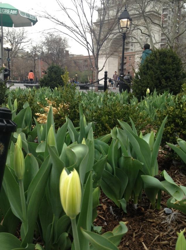 Tulips in Washington Square Park