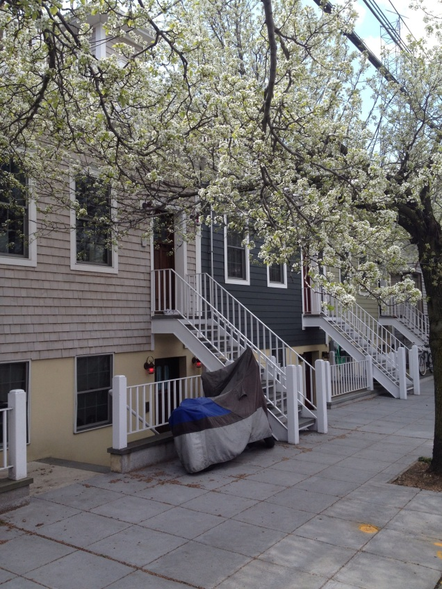 Pear blossoms in Red Hook